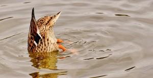 duck-2166056_960_720